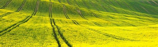 Panorama- bakgrund av guling-gräsplan det blom- fältet arkivfoton