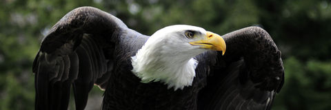 Panorama of Bald Eagle taking off Royalty Free Stock Image
