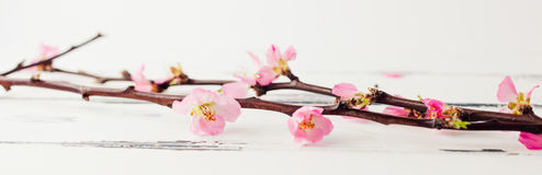 Panorama banner of Cherry blossom on white wooden. Horizontal banner with pink cherry bloom royalty free stock image