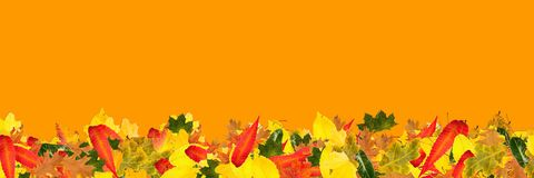 Panorama banner with many colorful autumn leaves Royalty Free Stock Image