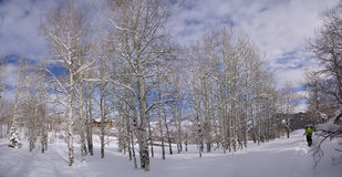 Panorama - Bare winter aspens with snowshow hikers Stock Photo