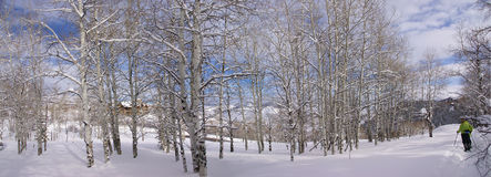 Panorama - Bare winter aspens with snowshow hikers Stock Image