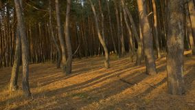 Panorama of a forest in autumn.footage sunset. Panorama of beautiful autumn day in the woods in the sun of the sky and water.camera movement from left to right stock video