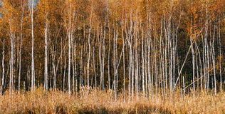 Panorama of Beautiful Birch forest in autumn season. Royalty Free Stock Photography