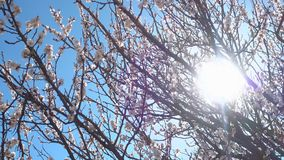 Panorama. Beautiful blooming tree at sunny day. 4k qualitative video stock video