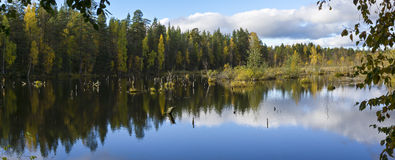 Panorama of beautiful forest swamp Stock Photography