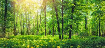 Panorama of beautiful green forest in summer. Nature scenery with yellow wild flowers. Panorama of beautiful green forest landscape in summer. Nature scenery stock photo