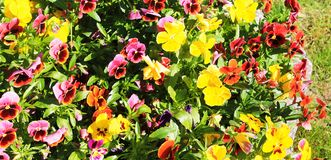 Panorama with beautiful pansies shining in the sun in a city park.  royalty free stock photo