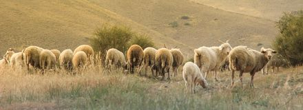 Panorama with beautiful sheep grazing in the mountains stock photography
