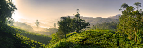 Panorama of Beautiful Sunrise Tea Plantation Stock Image
