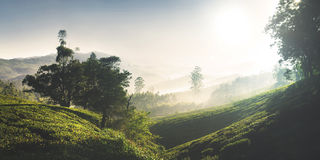 Panorama of Beautiful Sunrise Tea Plantation Concept Stock Image