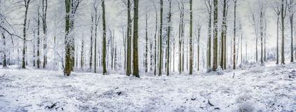 Panorama beech forest Royalty Free Stock Photo