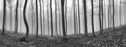 Panorama beech forest Stock Photography