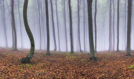 Panorama beech forest Stock Photo