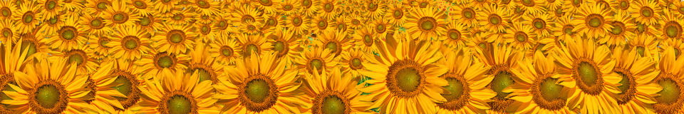Panorama of the big sunflowers Royalty Free Stock Photos