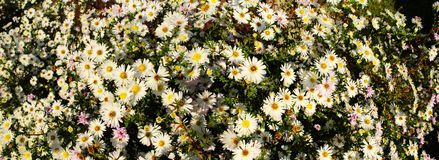Panorama- bild av härliga vita blommor arkivbilder