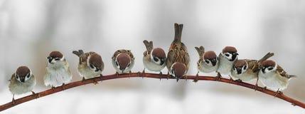 Panorama- bild av roliga gulliga fågelsparvar som sitter på en kli royaltyfri fotografi