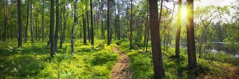 Panorama- bild av skogen Arkivbild