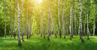 Panorama of birch forest with sun Royalty Free Stock Photography