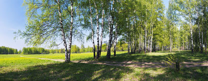 Panorama of birches alley Stock Image