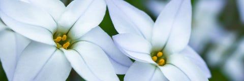 Panorama blanco de la flor de la primavera Fotografía de archivo libre de regalías