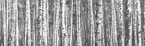 Panorama blanco y negro con los abedules en estilo retro Fotos de archivo libres de regalías