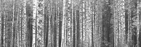 Panorama blanco y negro con los abedules en estilo retro Foto de archivo libre de regalías