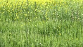 Panorama of a blooming canola field, day in July stock video footage
