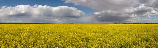Panorama of blooming fields. Summer background. With clouds royalty free stock photos