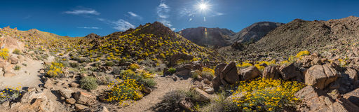 Panorama of Blooming Trail to FortyNine Palms Oasis Stock Photography