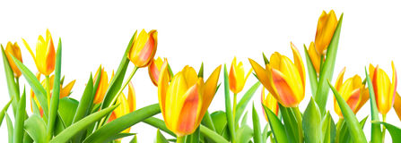 panorama blossoming spring yellow Tulips flower colorful is isolated on white background, collage stock photography