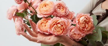 In girl hands bouquet with pink ranunculus isolated on white background. Panorama with bouquet with pink ranunculus in girl hands isolated on white background stock photos