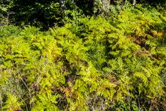A panorama of bracken ferns. A background image of bracken ferns from Ashes Wood, near Netherfield, East Sussex, England stock photography