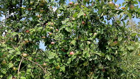 Panorama of the branches of Apple trees with lots of fruit. A lot of apples on the Apple tree, panorama stock video