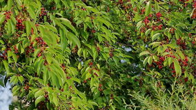 Panorama of the branches of a tree studded with berries stock footage