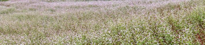 Panorama buckwheat flower fields Stock Photography