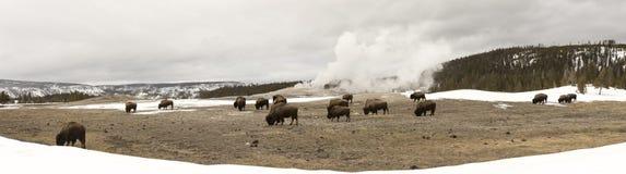 Panorama of buffalo or bison grazing next to Old Faithful Geyser Stock Photos