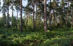 Panorama bujny zieleni krajobrazowy las w lecie Obraz Stock
