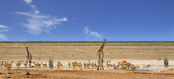Panorama of a busy waterhole in Etosha National Park. Panoramic view of giraffes, Impala, Gemsbok Oryx at a very busy waterhole in Etosha National Park, Namibia Stock Images