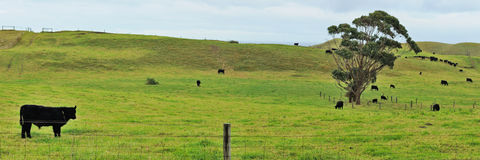 Panorama with calf at farmland Stock Photography