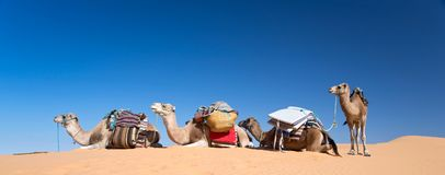 Panorama of camels in the Sand dunes desert of Sahara South Tunisia Royalty Free Stock Photos