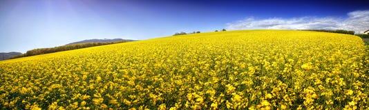 Panorama of canola field Stock Image