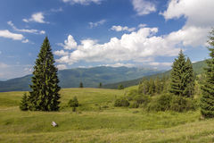 Panorama of Carpathian mountains in summer with lonely pine tree Royalty Free Stock Photos
