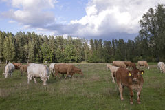 Panorama with cattle Stock Photos