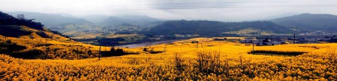 Panorama of cauliflower fields Royalty Free Stock Photo