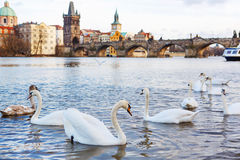 Panorama on Charles Bridge in Prague in the eveining with swans Stock Photos