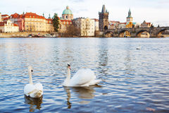 Panorama on Charles Bridge in Prague in the eveining with swans Royalty Free Stock Photos