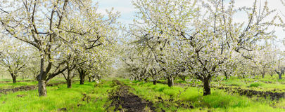 Panorama of cherry blossom in a garden. Stock Images