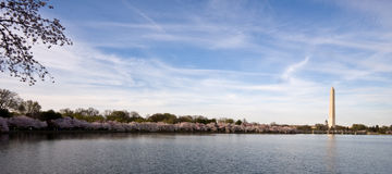 Panorama of cherry blossoms. Panorama of Washington Monument with Cherry blossoms and Tidal Basin royalty free stock image