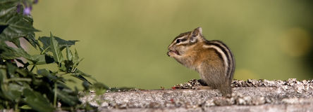 Panorama of a chipmunk on a log. A panoramic of a chipmunk on a log eating a berry Stock Photo